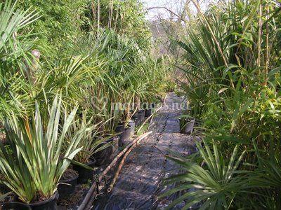Bambous et palmiers