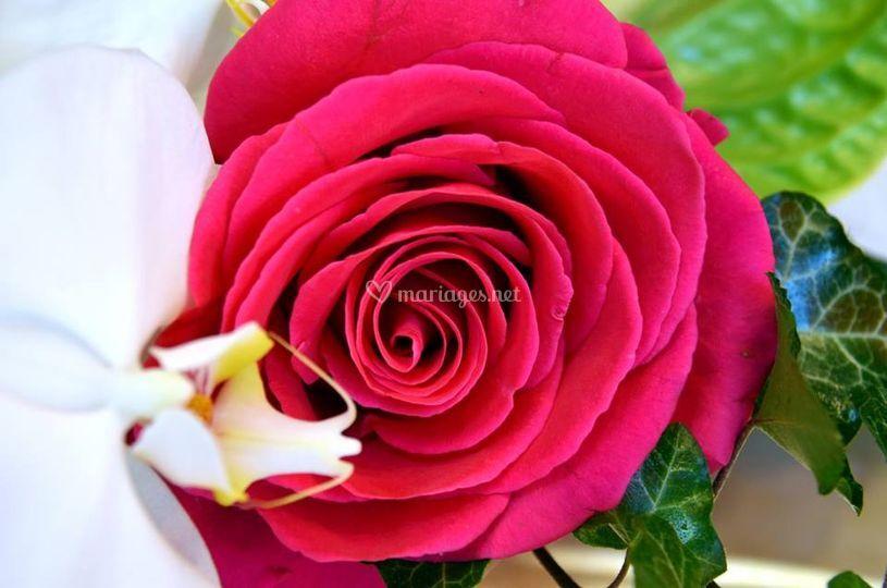 Roses d'Equateur