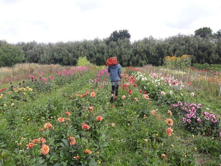 Récolte de dahlias