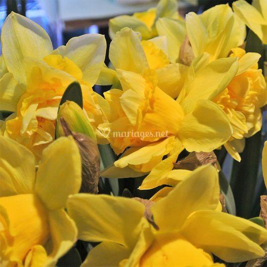 Fleurs de jonquilles