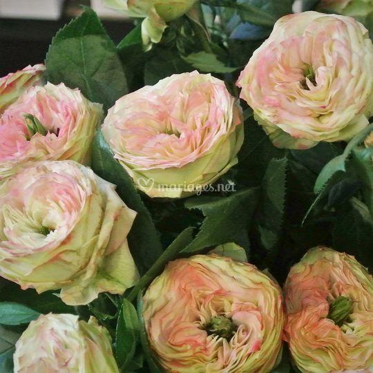 Roses latin Pompom
