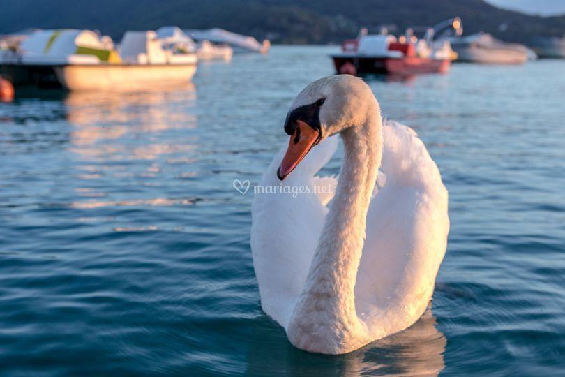 Cygne Lac d'Annecy