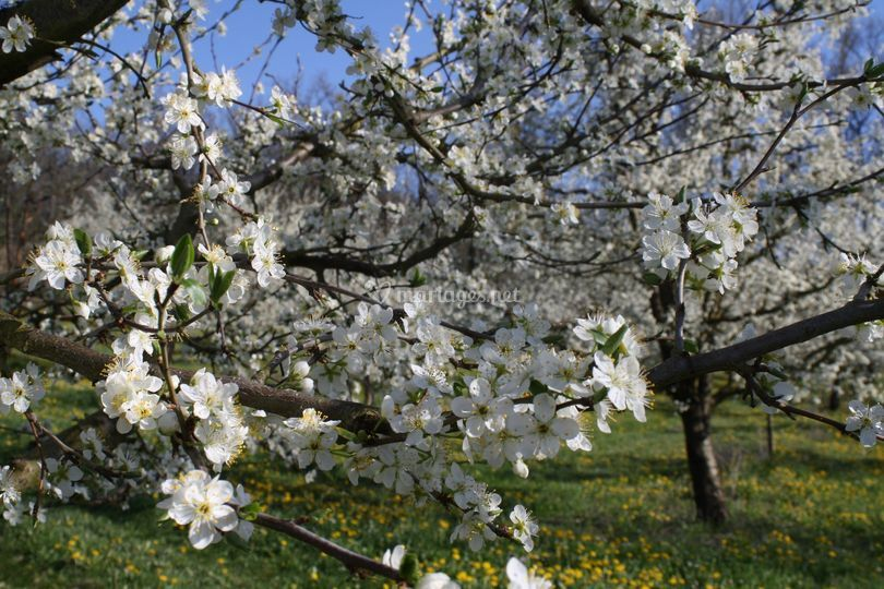 Pruniers en fleurs