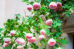 Rose arquée