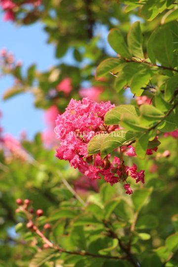 Floraison des lilas des Indes