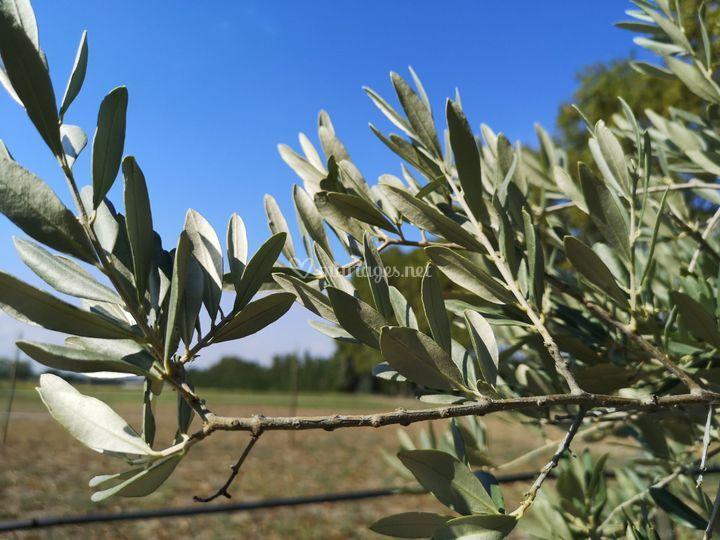 Plusieurs dizaines d'oliviers