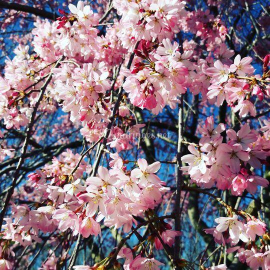 Fleurs du cerisier japonais