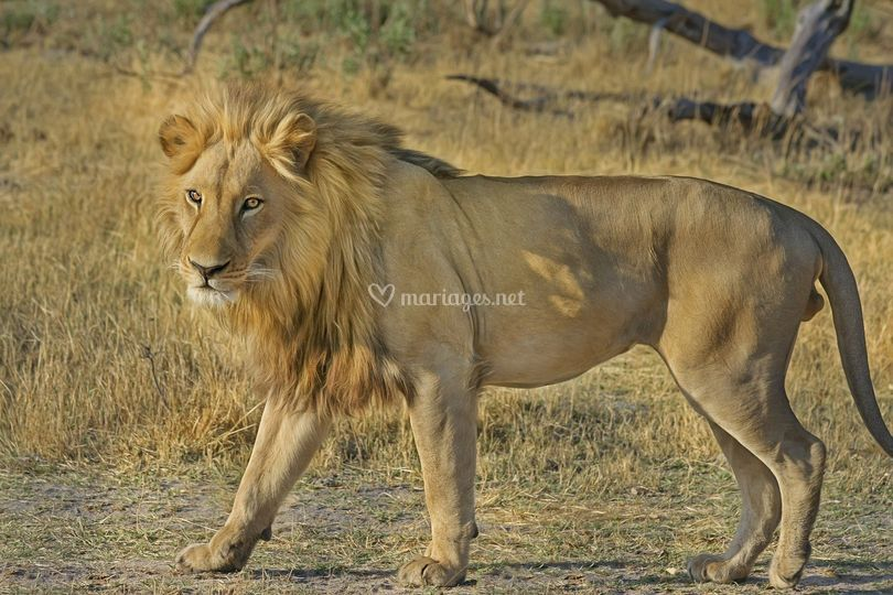Lion - safari voyage surprise