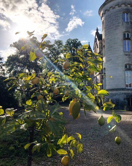 Les citronniers au soleil