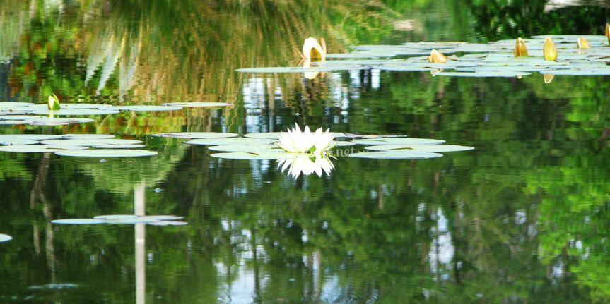 Nénuphars sur le lac