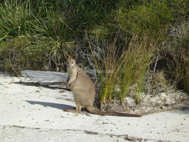 Wallabi à Jervis Bay