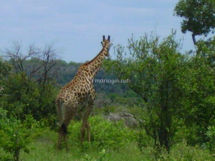 Girafe en Afrique du Sud