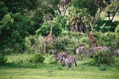Safari, Tanzanie