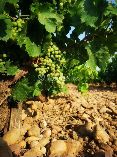 Futur grand vin