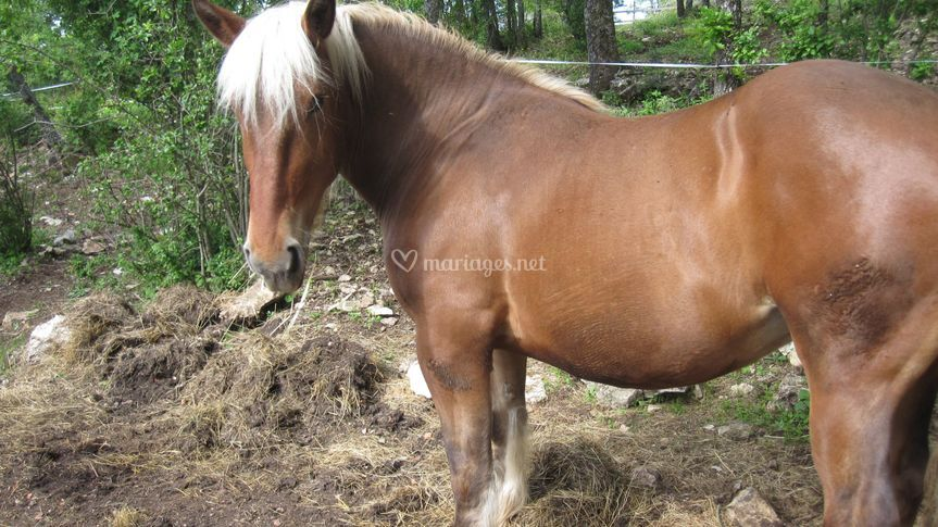 Le cheval de trait comtois