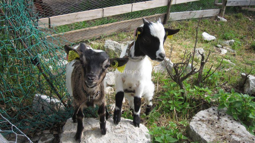 Les chèvres naines de la ferme