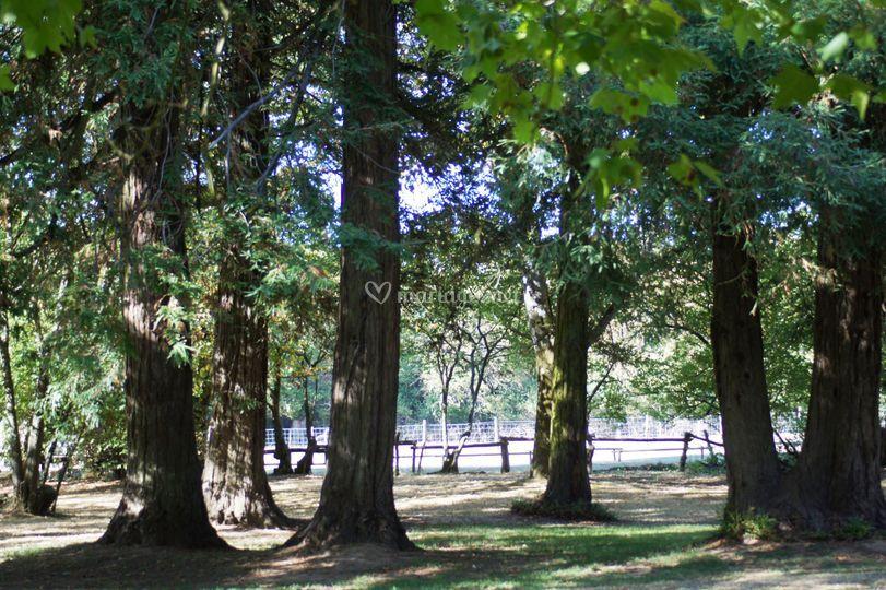 Les sequoias