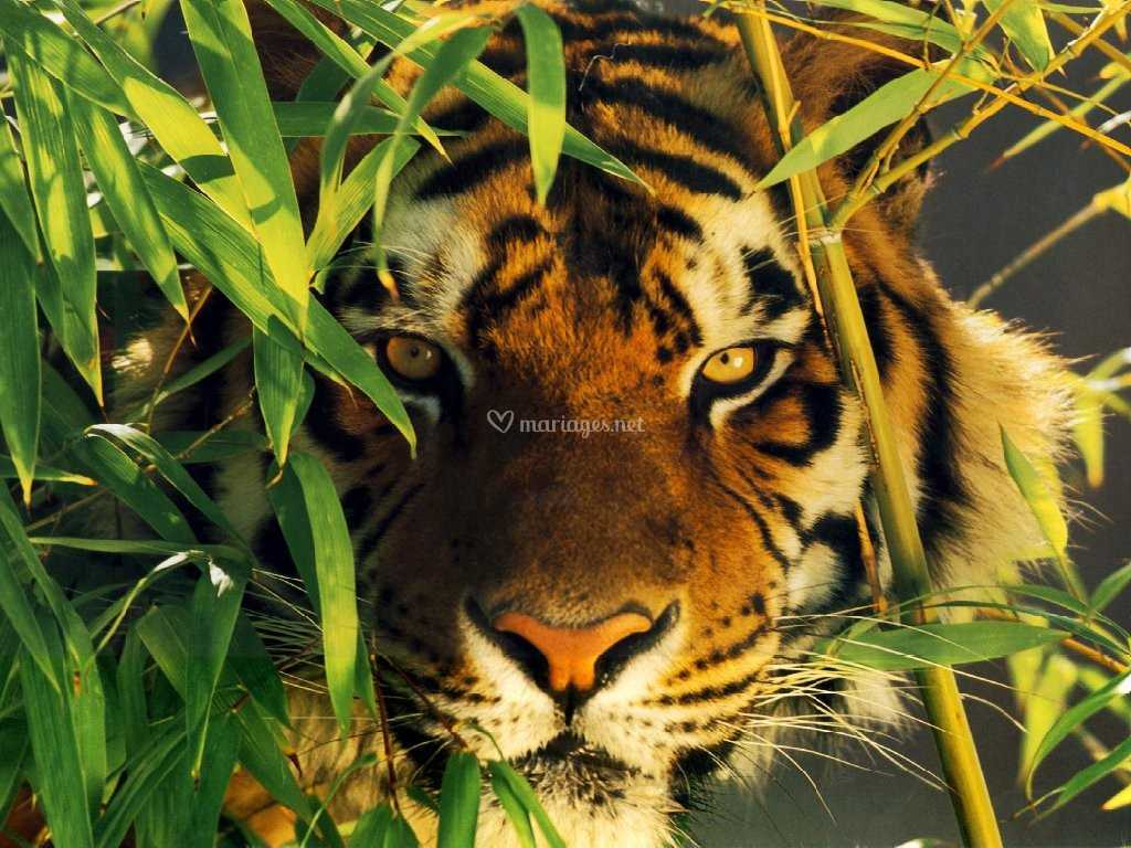 Tigres Inde
