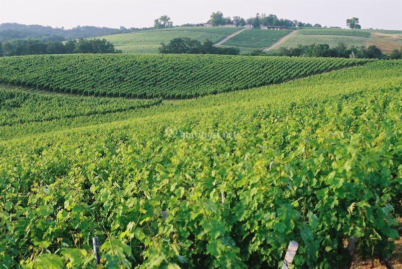 Les vignes de la propriété