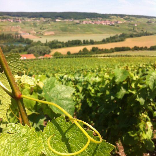 Vignes en été