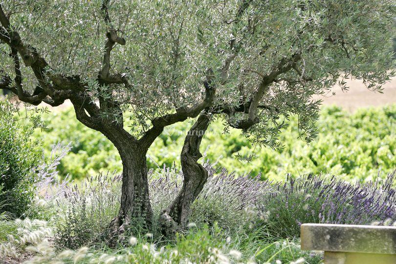 Olivier lavandes vignes