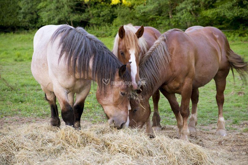 Différentes races de chevaux