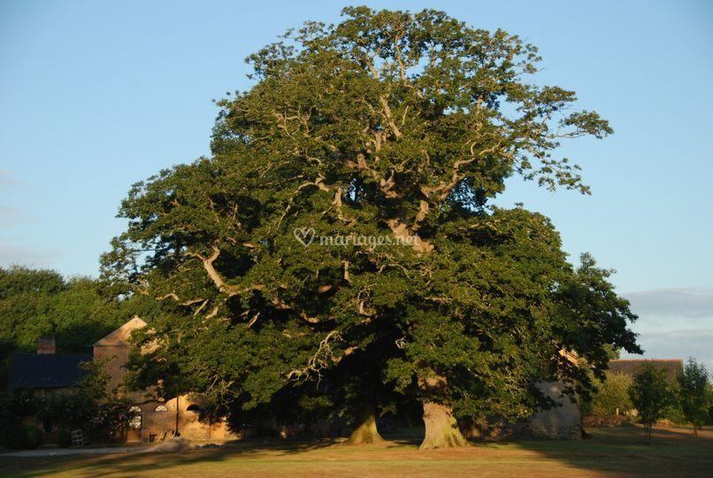 Chêne tricentenaire