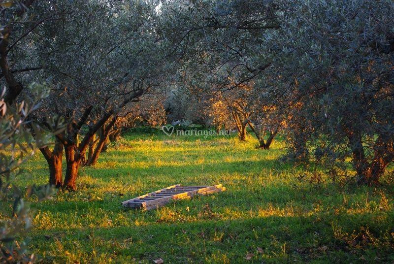 Les oliviers devant le domaine