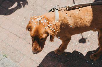 Jamais sans mon chien : 6 raisons d'organiser un mariage dog friendly