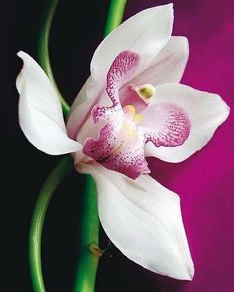 B. L'orchidée
