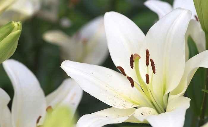 Le choix des fleurs - Le lys ANNULE
