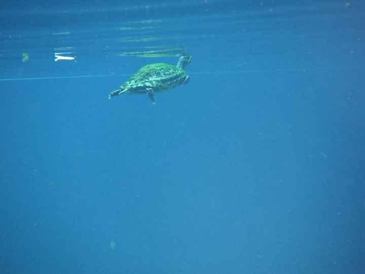 Bébé tortue à Gran Cenote
