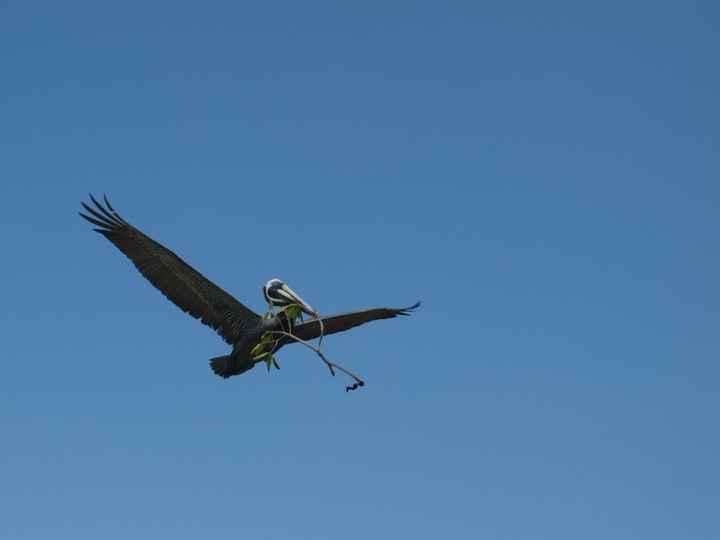Pelican à Siaan khan
