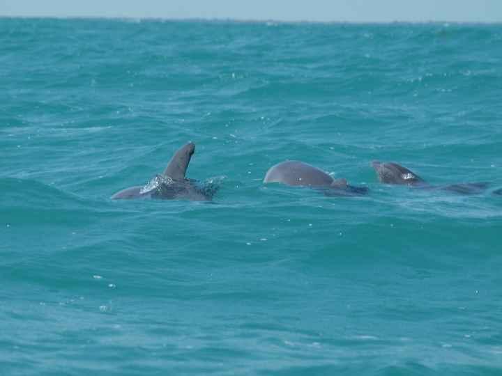 dauphins à siaan khan