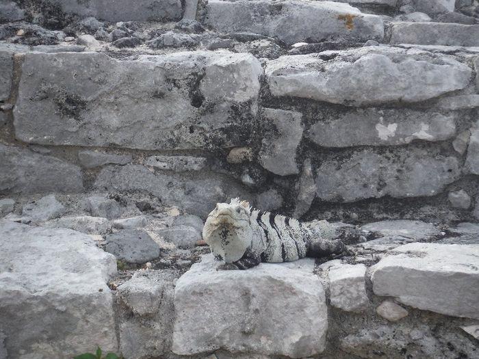 Iguane à Tulum