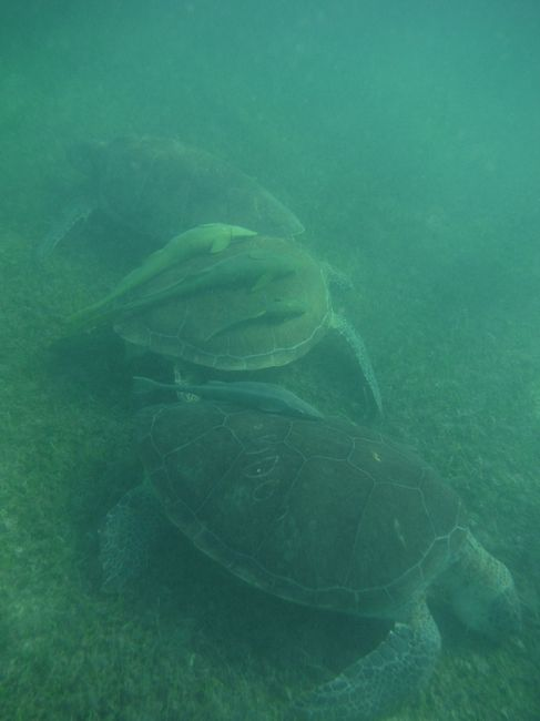 Trio de tortues à akumal