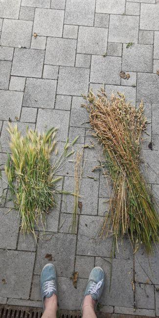 Séché des epis de blé 1