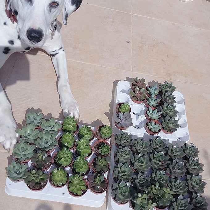 succulentes cadeaux invités