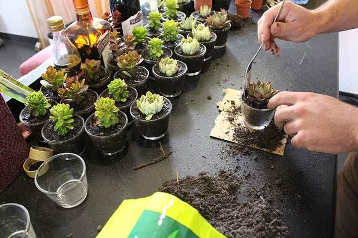 Cadeau invité, plantes succulentes