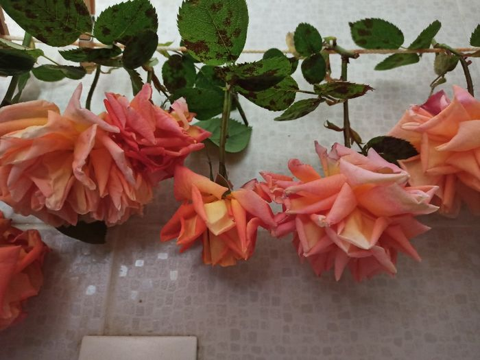 Pétales de roses séchées 2