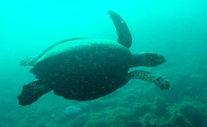 Plongée tortue