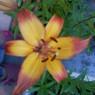 Fleur West Indiens