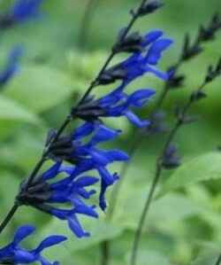 Bouquet mariée bleu/blanc - 1