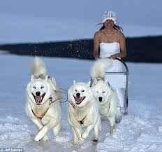 mariée sur chien de traineau