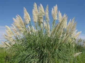 Ou trouver des herbes de pampa 1