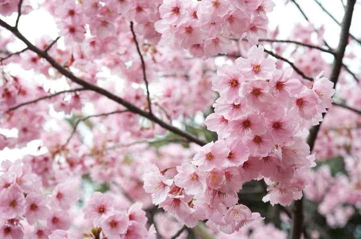 Cerisier en fleur pour Lydia