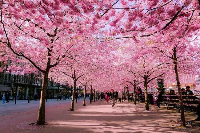 Cerisier en fleurs 2 pour Lydia
