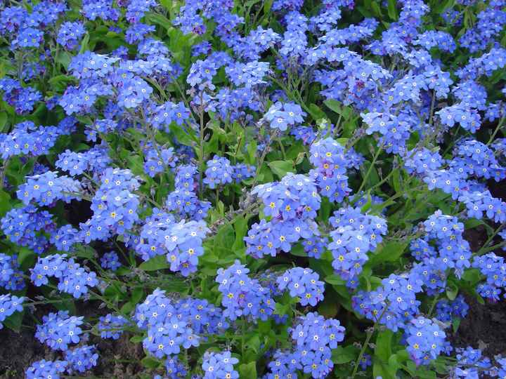 fleurs bleues bis