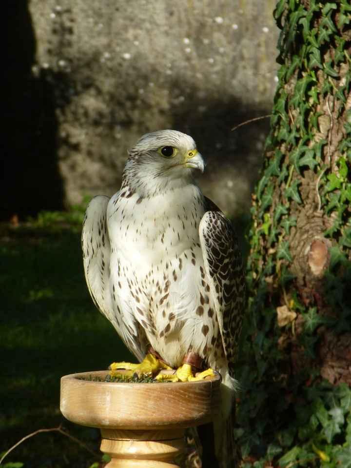mon faucon